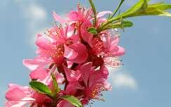 Virágzó törpemandula