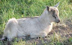 gida állatkölyök