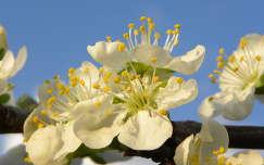 Szilva virágzás