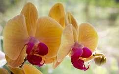 Orchidea csoda...