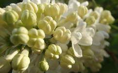 tavaszi virág orgona