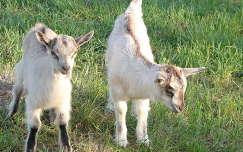 kecske háziállat gida