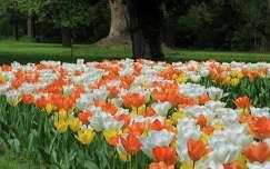 tulipánok a Vácrátóti arborétumban