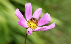 rovar pillangóvirág