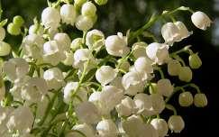 Gyöngyvirágcsokor