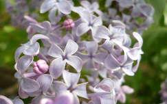tavaszi virág orgona anyák napja