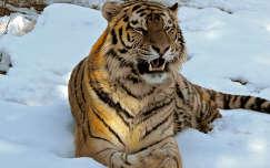 Tigris, Debreceni Állatkert