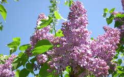 tavaszi virág anyák napja orgona