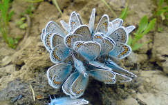 Boglárkalepke (Polyommatus Icarus)