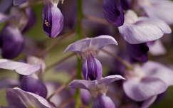tavaszi virág akácvirág