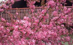 Virágzó diszalmafa