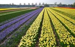 VOGELENZANG-HOLLAND, FLOWERFIELDS
