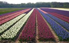 VOGELENZANG-HOLLAND, FLOWERFIELDS