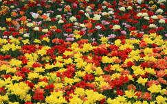 Tulipán ágyás