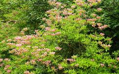 Kámoni Arb. Szombathely Rhododendron