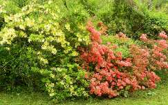 Rhododendronok Kámoni Arborétum