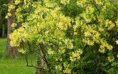 Rhododendron Kámoni Arb.