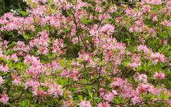 Rhododendron Kámoni Arborétum