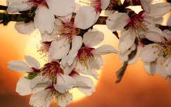 Mandulafa virágai