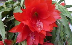 Virágzó kaktusz az erkélyen (30 éves,113 virág egy szezonban)