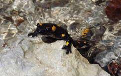 hüllők szalamandra