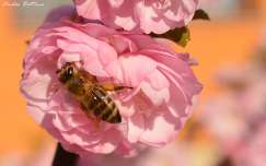 rovar babarózsa tavasz méh