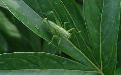 szöcske rovar levél