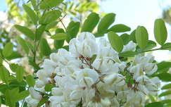 tavasz akácvirág virágzó fa