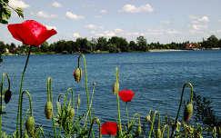 Mályi tó, pipacs