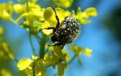 rovar vadvirág repce