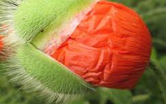 Mákvirág