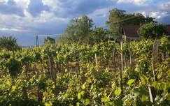 szőlőültetvény magyarország