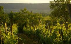 út szőlőültetvény