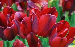 Piros tulipán a vácrátóti arborétumban, Magyarország
