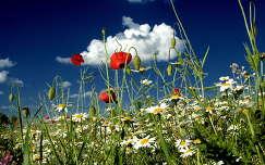 Vadvirágok Hevesvezekény határában