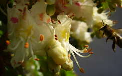 rovar gesztenyevirág méh