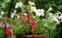 virágcsokor és dekoráció petúnia