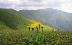 nyár pitypang hegy vadvirág