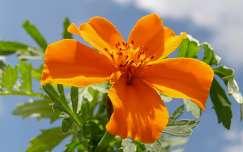 Bársonyvirág (Büdöske)