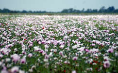 nyár mákvirág virágmező