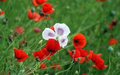 nyári virág vadvirág pipacs mákvirág