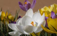 tavaszi virág krókusz nőnap
