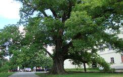 Sárospatak, Rákóczi vár, várkert öreg fája
