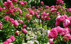 Bécsi rózsák