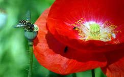 nyári virág rovar mákvirág