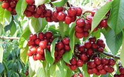 gyümölcs cseresznye