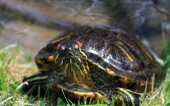 teknős hüllők