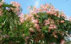 Virágzó selyemakác