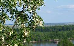 Virágzó fa dunai háttérrel