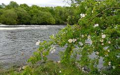 vadrózsa nyár vadvirág írország